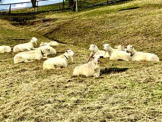 野原に横たわる羊の群の写真・画像素材[4529289]