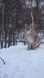 雪の中に立っている猫の写真・画像素材[4654105]