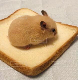 食パンをかじるハムスターの写真・画像素材[4510387]
