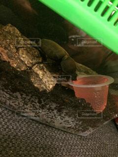 ゼリーを食べるカブトムシの雌の写真・画像素材[4509996]