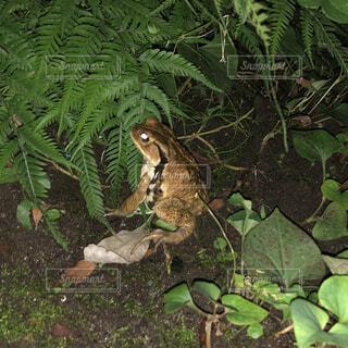 雨で現れるカエルの写真・画像素材[4510566]