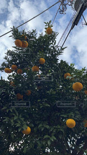 木に実った果実の写真・画像素材[4513035]