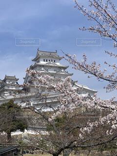 姫路城をバックの桜の写真・画像素材[4518160]