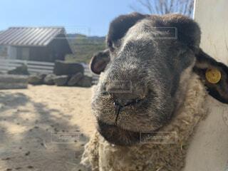 羊のドヤ顔の写真・画像素材[4512416]