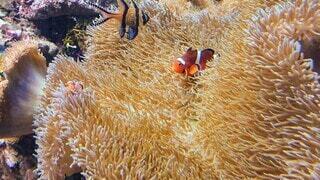 イソギンチャクと熱帯魚の写真・画像素材[4517140]