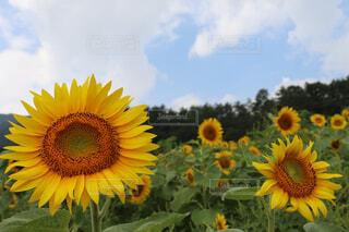 ひまわり畑の写真・画像素材[4555018]