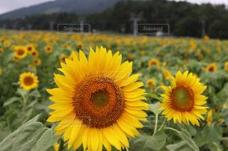 ひまわり畑の写真・画像素材[4555019]
