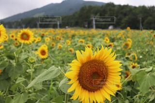 ひまわり畑の写真・画像素材[4555017]