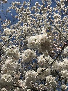 トロントの桜の写真・画像素材[1178916]