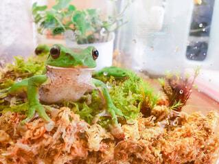 カエルの写真・画像素材[4517561]