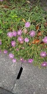 ピンク色の雑草の写真・画像素材[4547005]