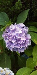 紫色の紫陽花の写真・画像素材[4549711]