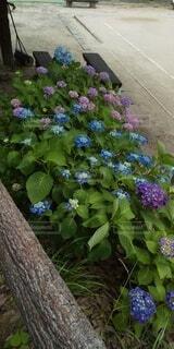 たくさんの紫陽花の写真・画像素材[4549720]