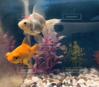 出店ですくった金魚大きくなったの写真・画像素材[4600632]
