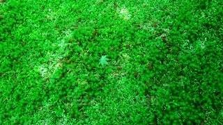 苔庭と青紅葉の写真・画像素材[4538947]