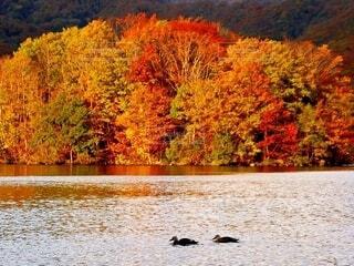 紅葉の湖を泳ぐつがいの鴨の写真・画像素材[4636807]