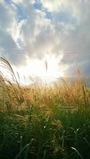 黄金色に輝くすすき野原の写真・画像素材[4664915]