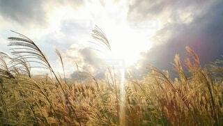 黄金色に輝くすすきの穂の写真・画像素材[4665007]