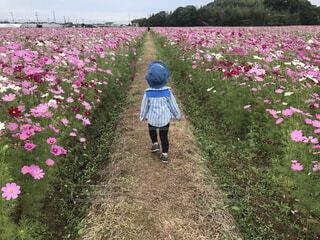 コスモス畑をお散歩する子どもの写真・画像素材[4527889]
