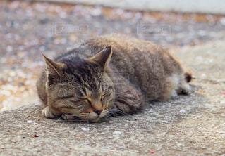 お昼寝中の猫ちゃんの写真・画像素材[4563518]