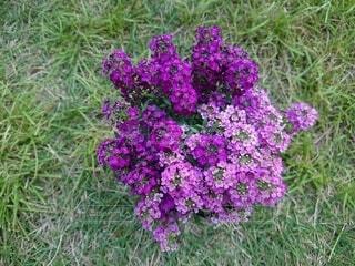紫と薄紫の可憐な小花の写真・画像素材[4525311]