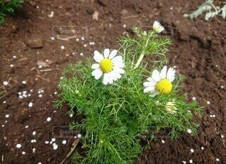 カモミールの花の写真・画像素材[4525306]