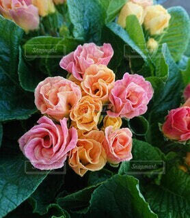 八重咲きのプリムラベラリーナの写真・画像素材[4535946]