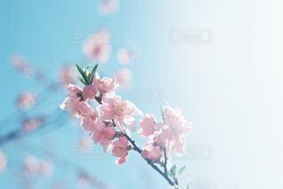 桃の花の写真・画像素材[4523709]