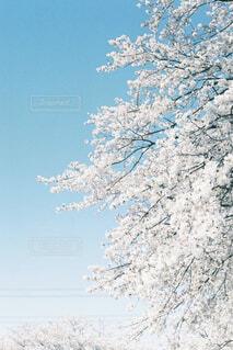 満開の桜の写真・画像素材[4523706]