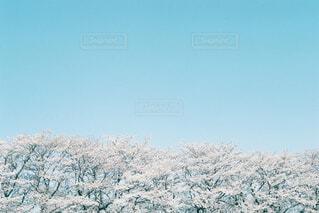 桜並木の写真・画像素材[4523708]