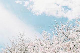 春の空と桜の写真・画像素材[4523712]