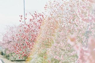 桃と虹の写真・画像素材[4523717]