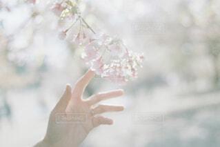 桜に触れたの写真・画像素材[4523713]