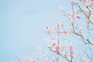 桃の花の写真・画像素材[4523718]