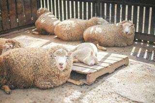 羊さんたちの写真・画像素材[4524401]