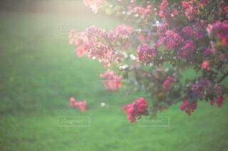 光を浴びる百日紅の写真・画像素材[4524402]
