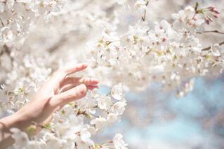 春に触れるの写真・画像素材[4524574]