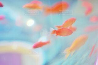 金魚の写真・画像素材[4525661]