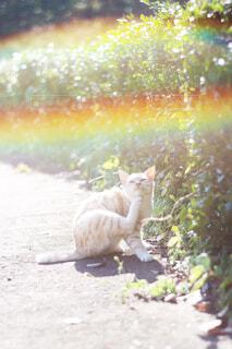 野良猫と虹の写真・画像素材[4525660]