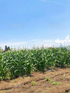 トウモロコシ畑の写真・画像素材[4529828]