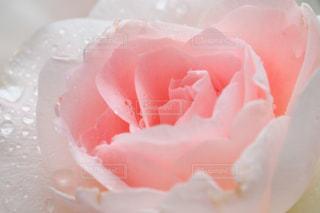 ピンクバラの写真・画像素材[762088]