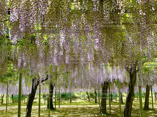 高台の藤の花の写真・画像素材[4534692]
