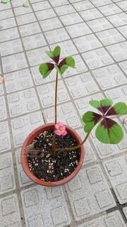 幸せを呼ぶ花咲く四つ葉のクローバーの写真・画像素材[4545483]