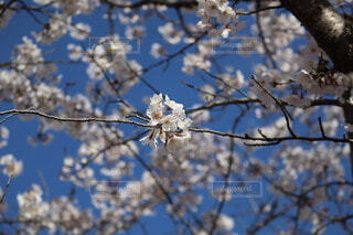 桜の写真・画像素材[4538707]