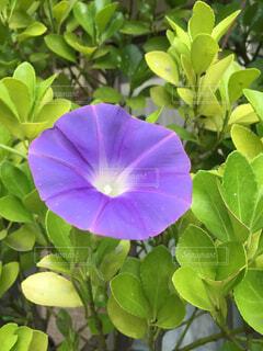 植木に巻き付いて咲いた朝顔の写真・画像素材[4544502]