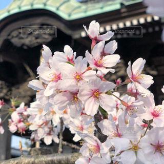 お寺の桜の写真・画像素材[1110229]