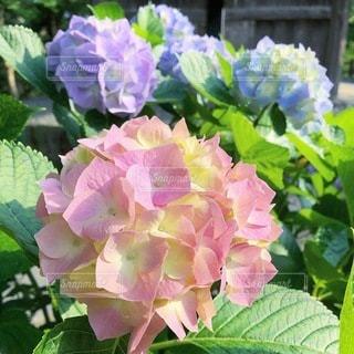 紫陽花の写真・画像素材[3587263]