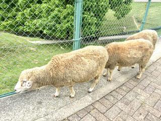3匹の羊の写真・画像素材[4554678]