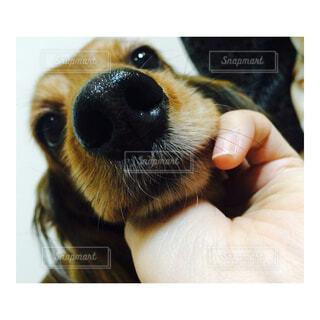 カメラを見ている犬の写真・画像素材[4548134]