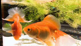 金魚の写真・画像素材[4549187]